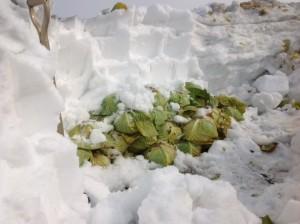 雪の下キャベツ
